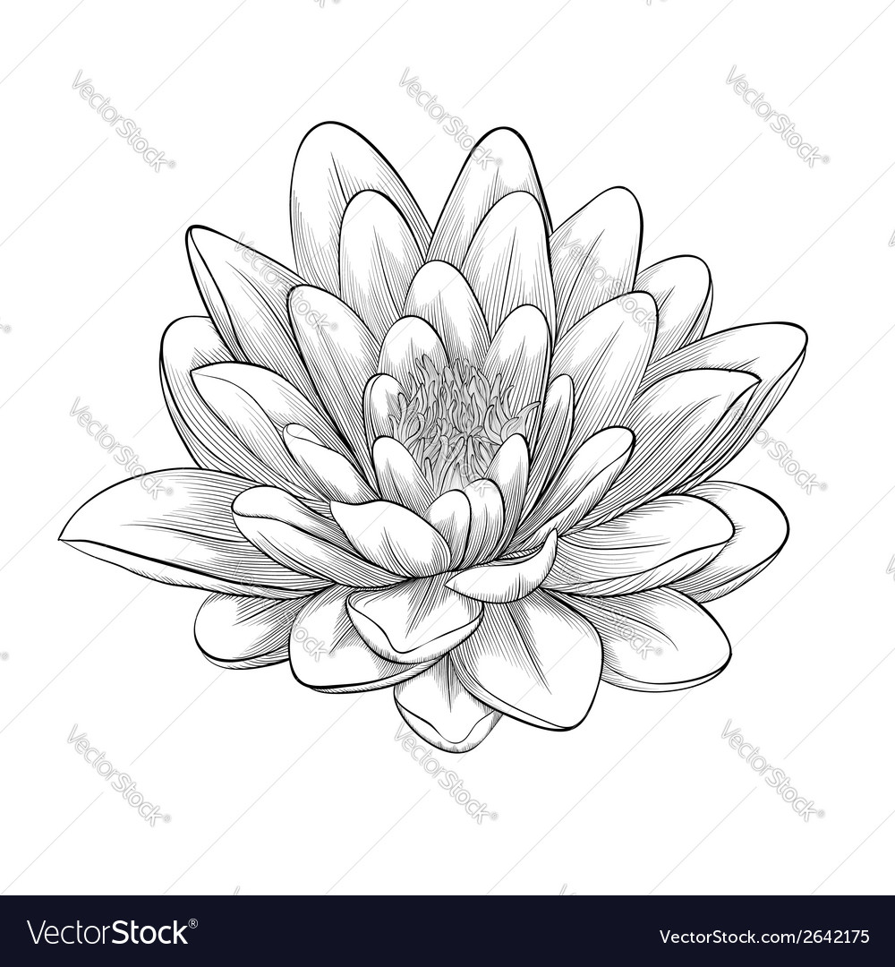Black And White Lotus Flower Royalty Free Vector Image
