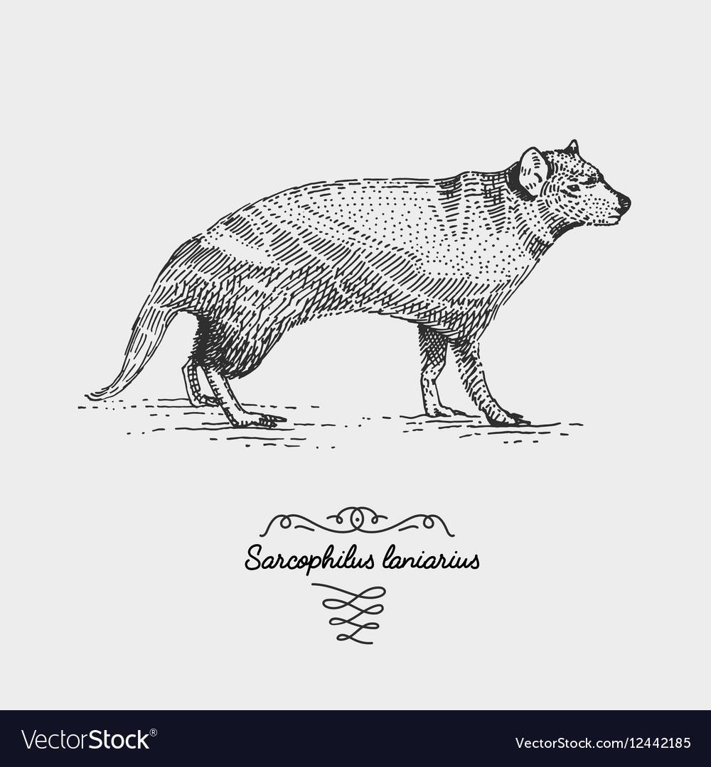 Tasmanian devil engraved hand drawn