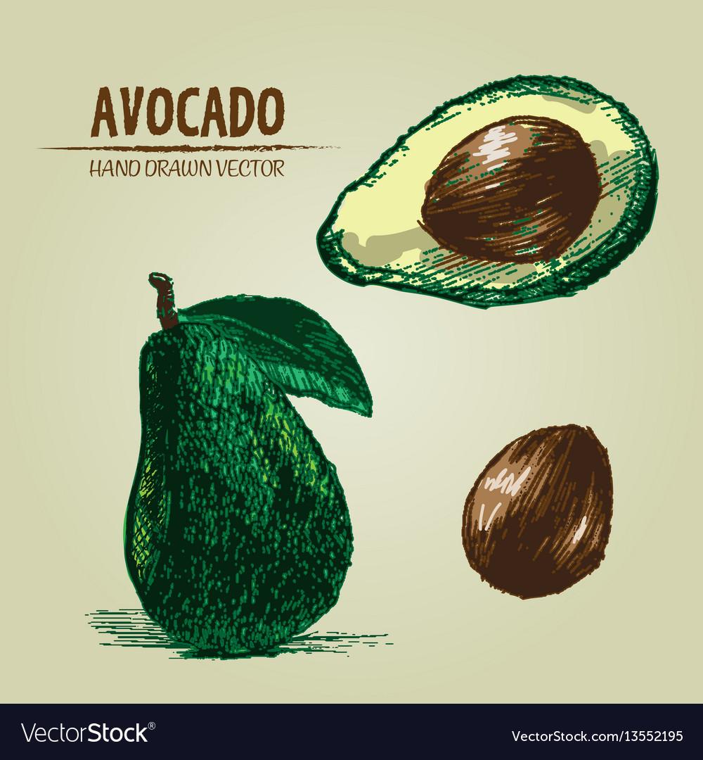 Digital detailed color avocado hand drawn