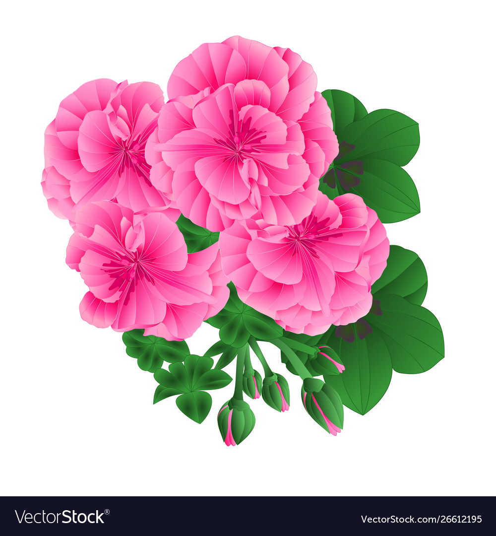 Pelargonium geranium pink flowers and buds