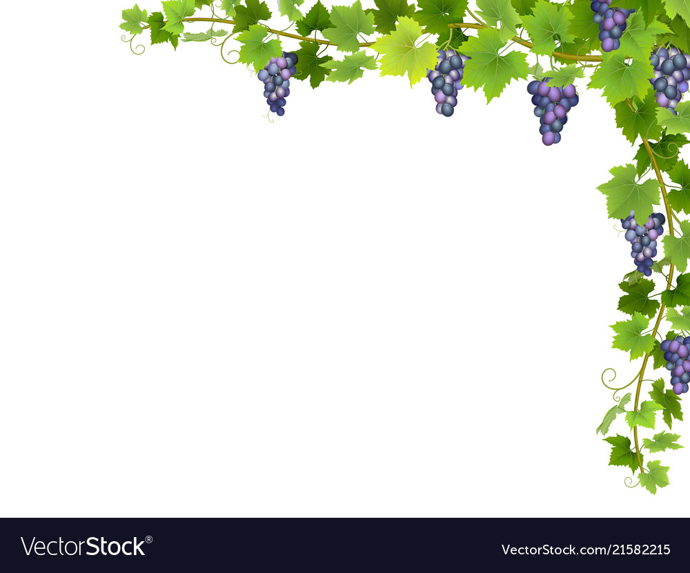 Blue grape branch in corner