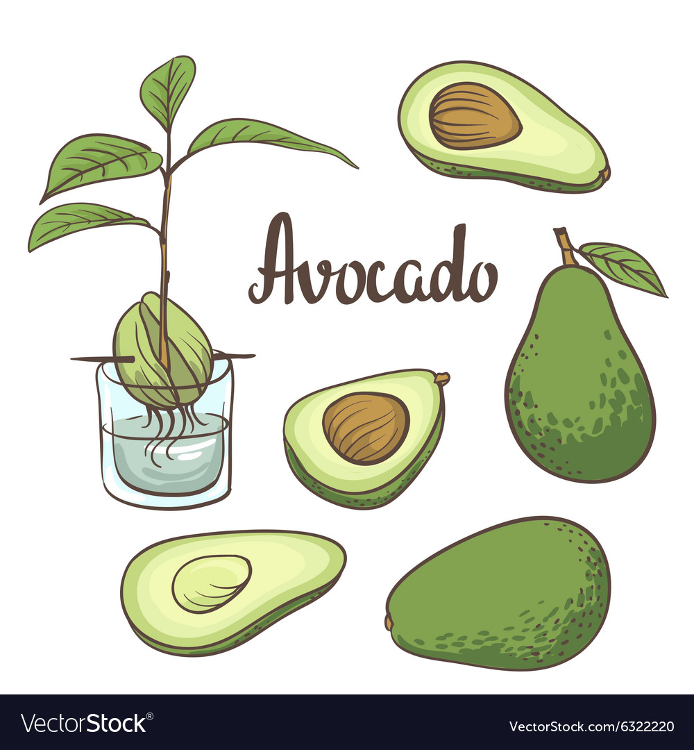Avocado half of avocado avocado seed a seedling of