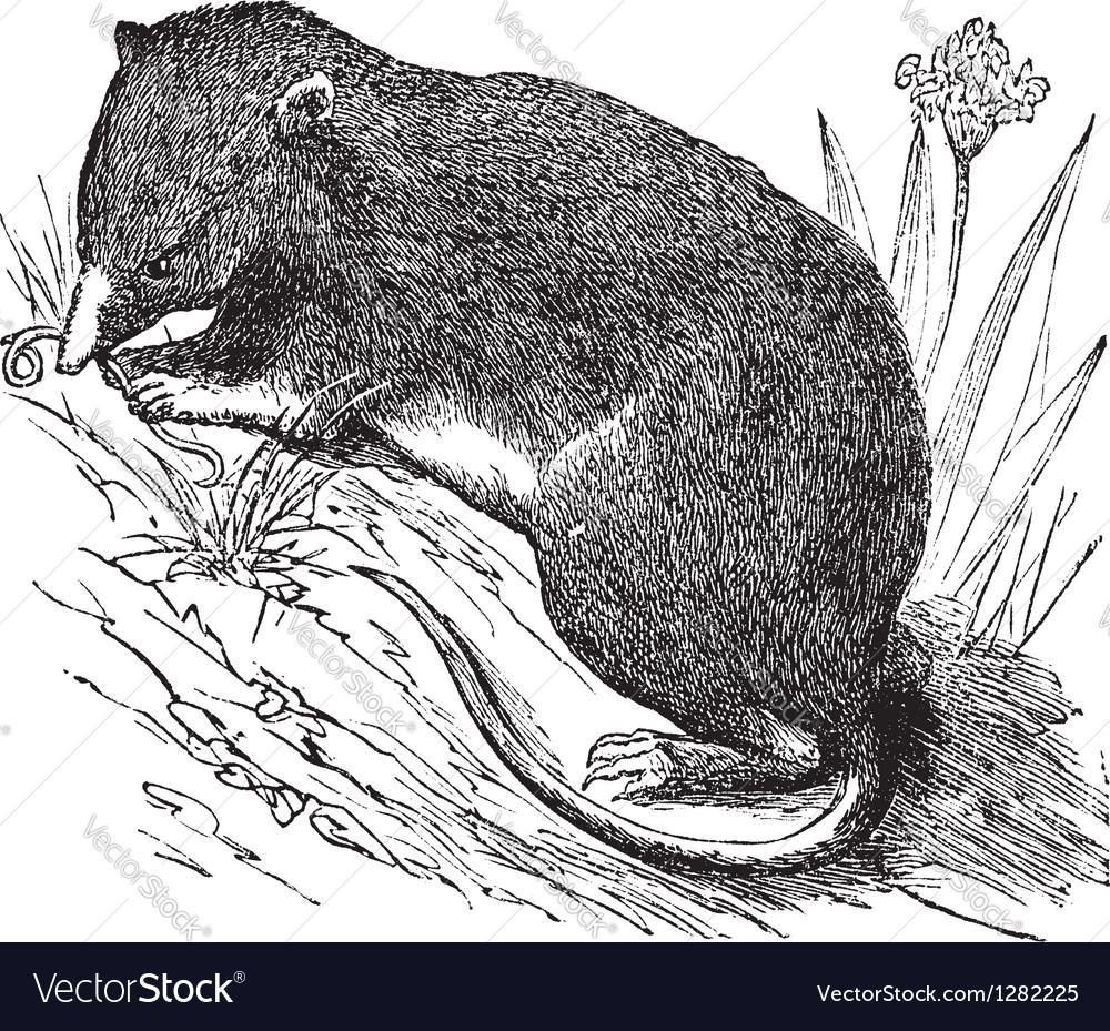 Common Shrew vintage engraving vector image