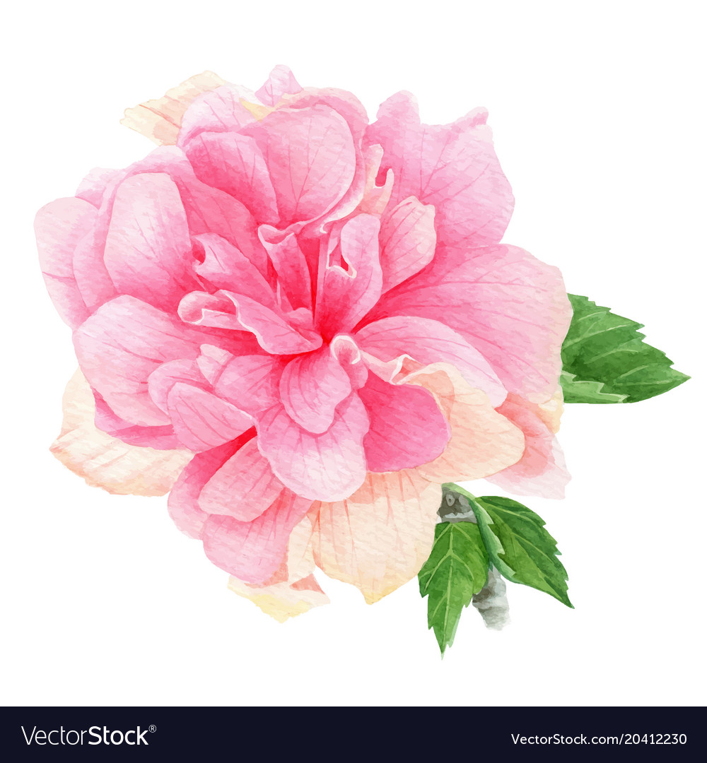 Watercolor Tropical Pink Hibiscus With Leaves Vector Image