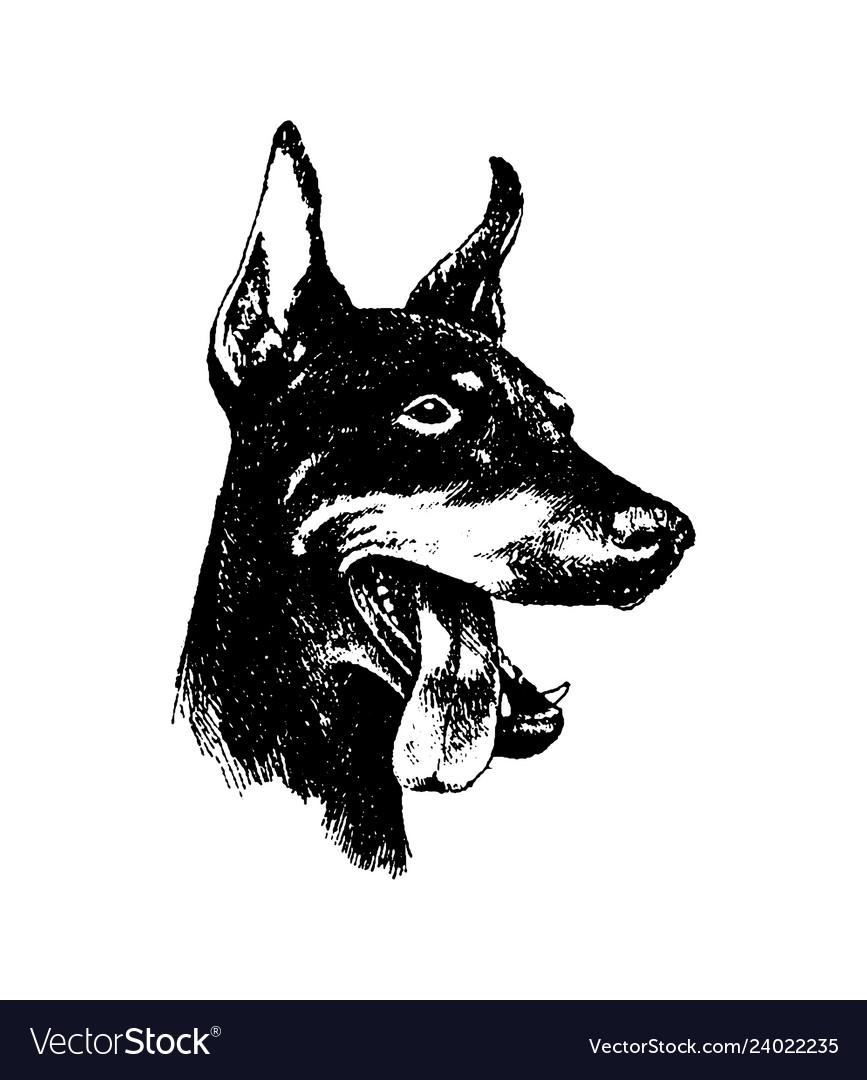 Hand draw n doberman dog vintage