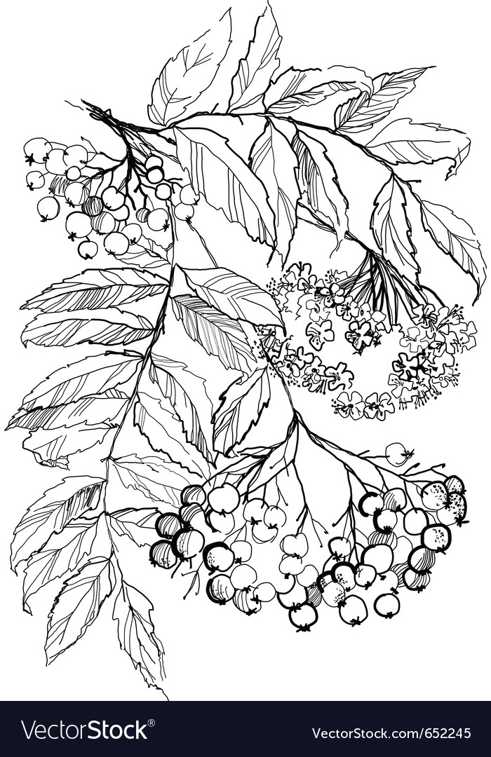 Rowan branch drawing vector image