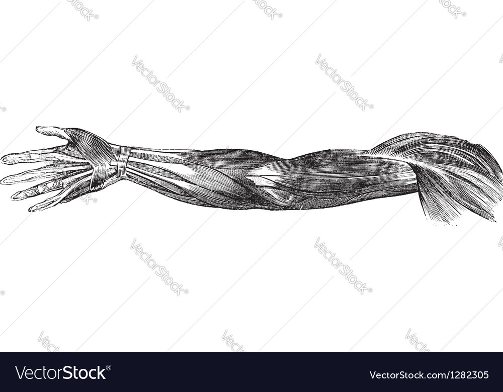 Human Arm Muscles Tendons Royalty Free Vector Image