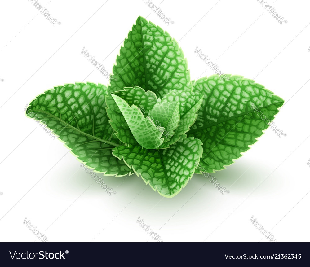 d9187d64ef72 Fresh green mint leaves Royalty Free Vector Image
