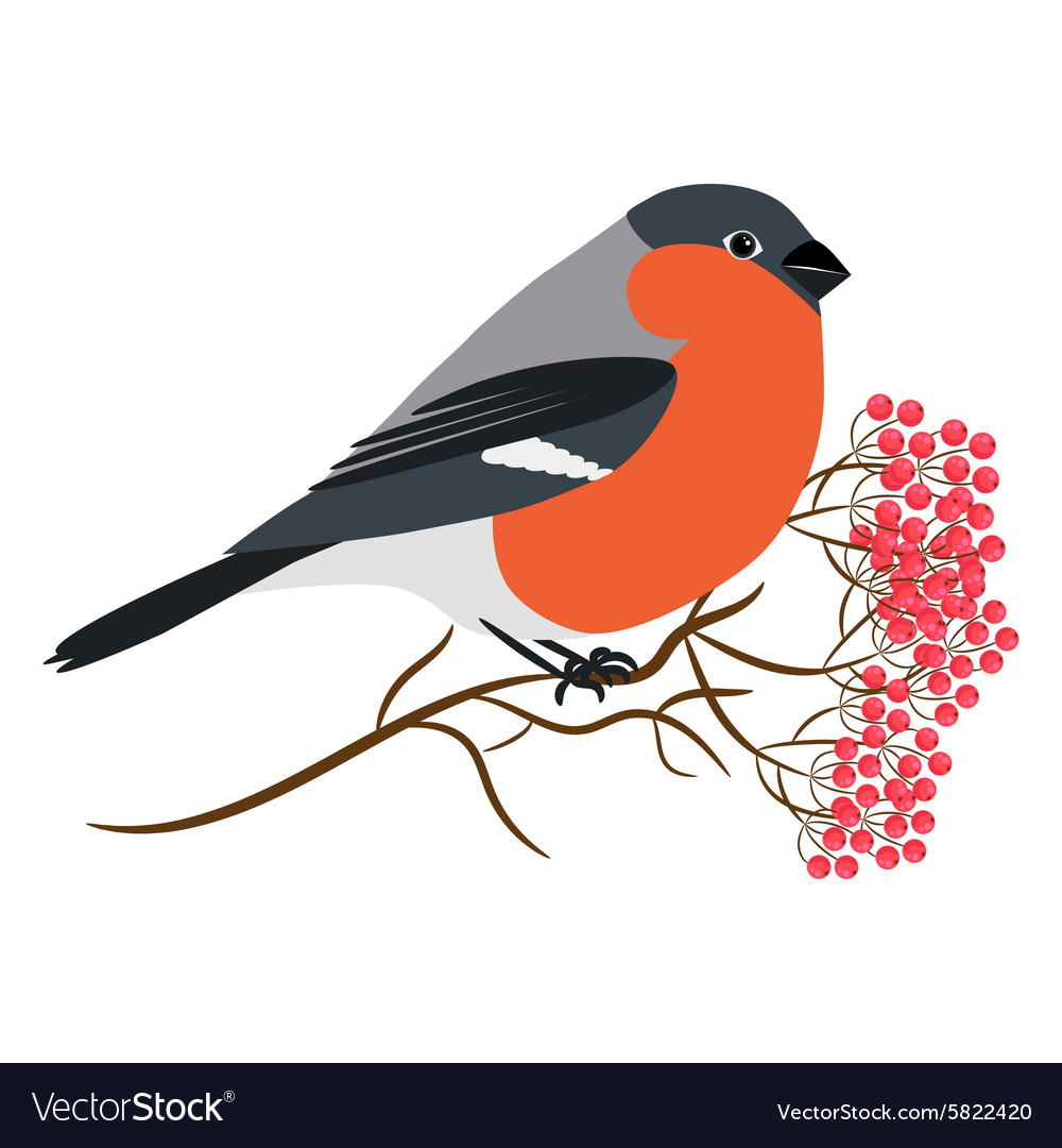 Bullfinch isolated on white Sitting at a