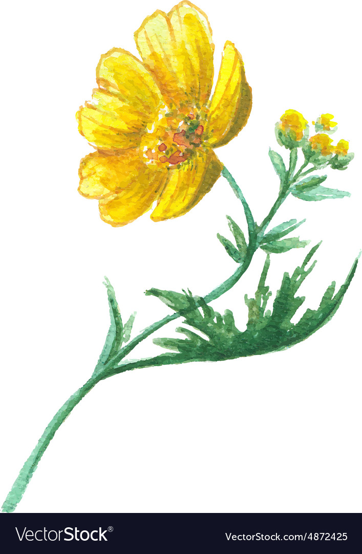 Buttercup Yellow Flower Royalty Free Vector Image