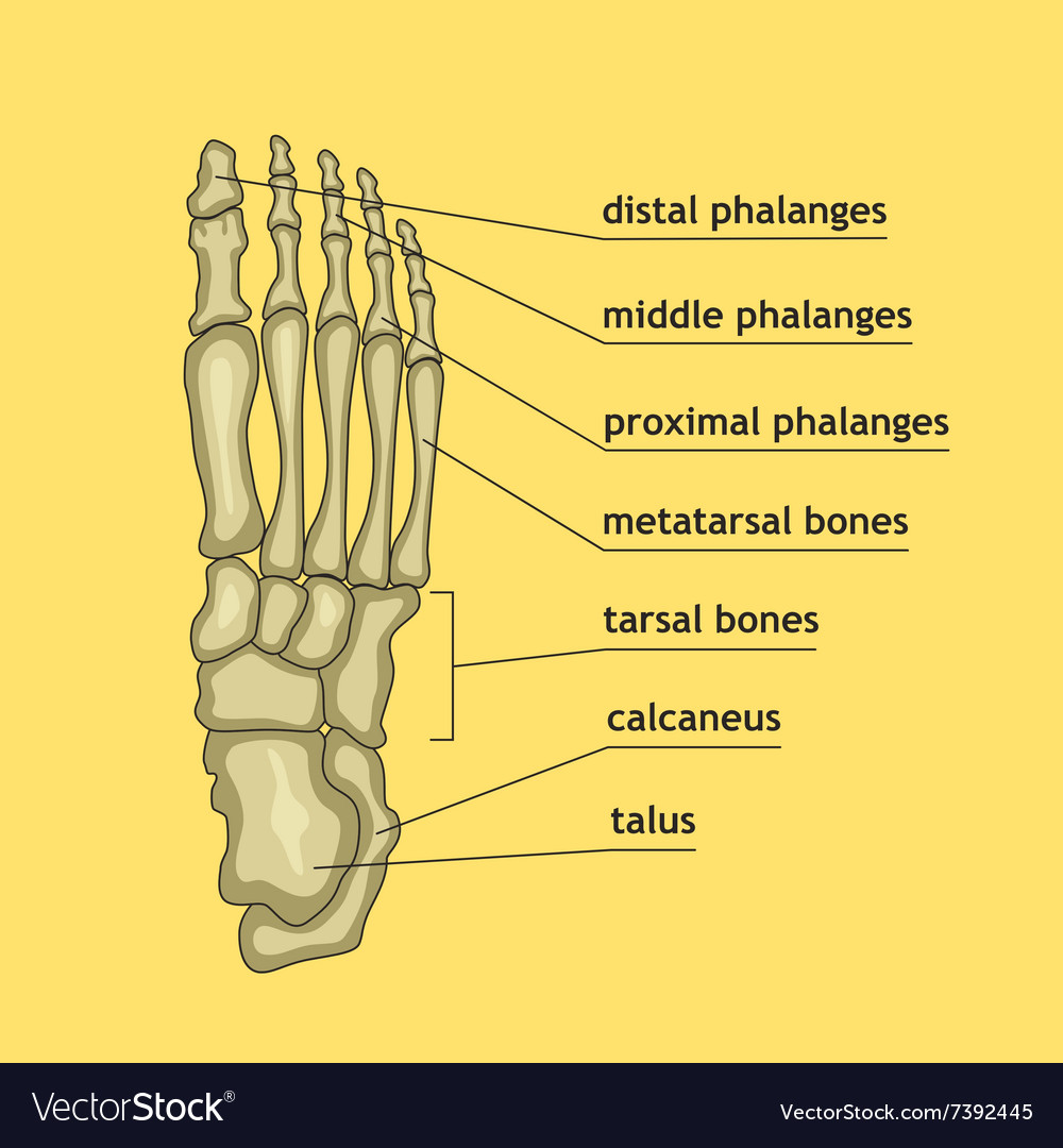 Foot bones with explanation Royalty Free Vector Image