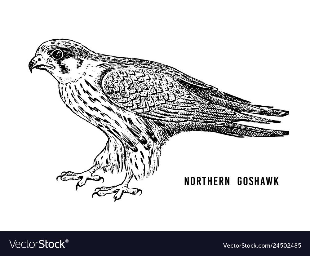 Northern goshawk wild forest bird of prey hand