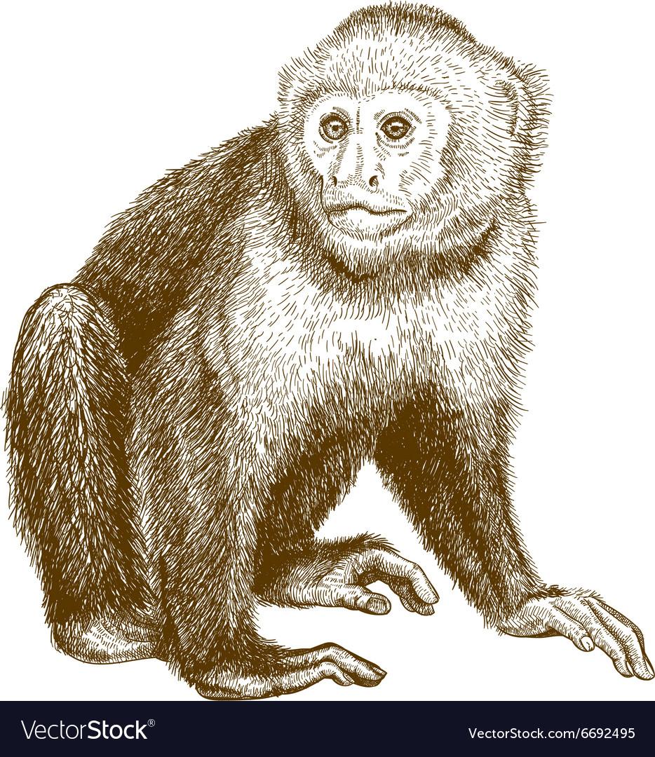 Engraving capuchin vector image