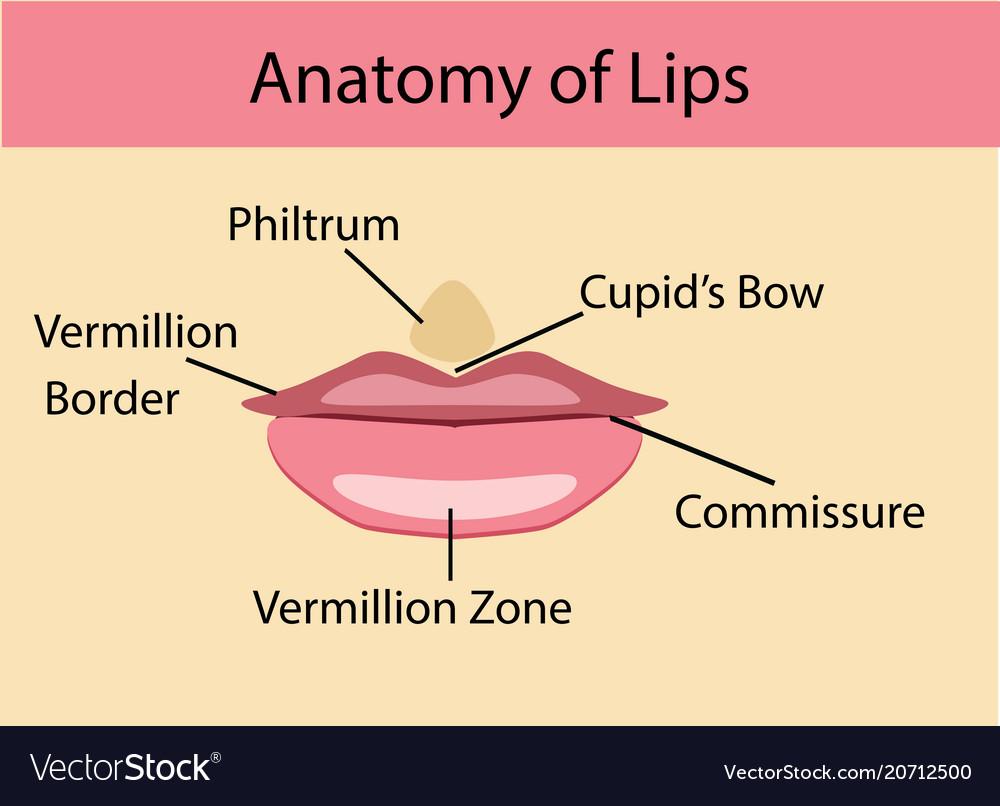 Anatomy of lips Royalty Free Vector Image - VectorStock