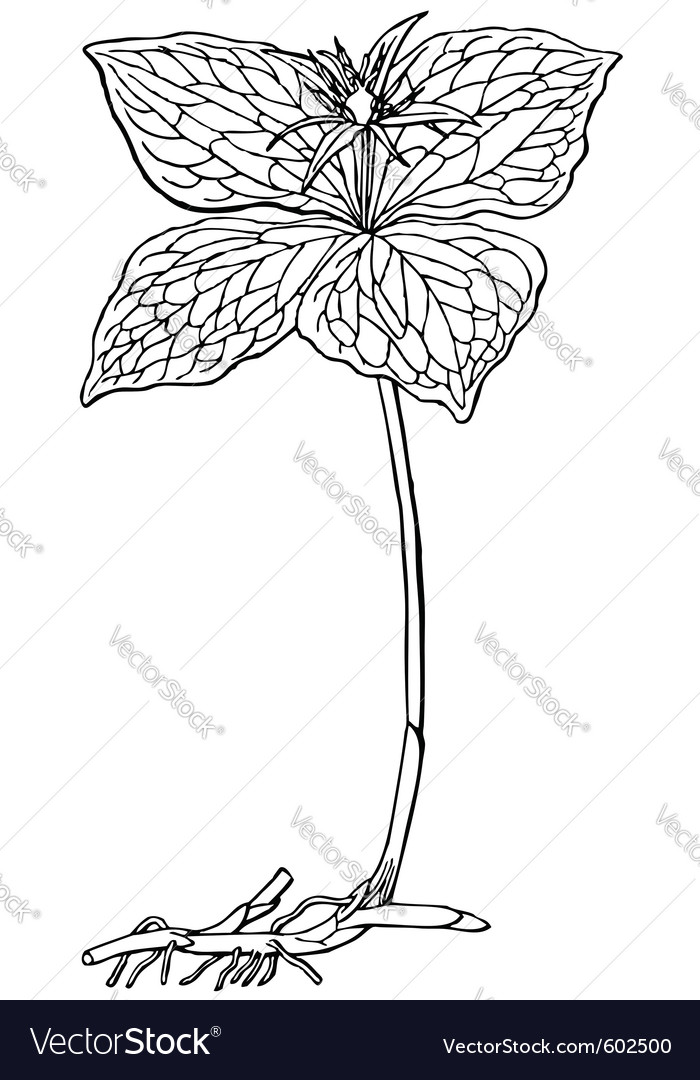 Plant paris quadrifolia