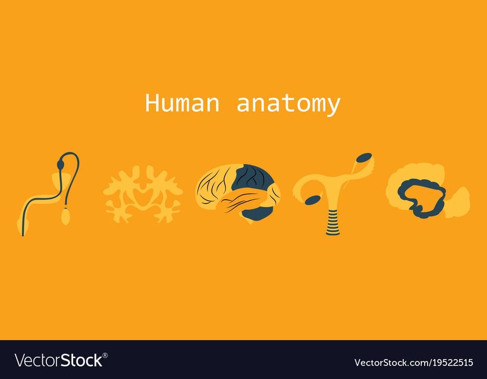 Human Body Internal Organs Medical Flat Isolated Vector Image