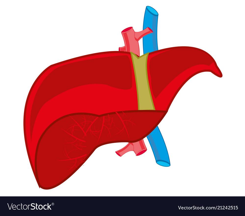 Internal Organ Liver Royalty Free Vector Image