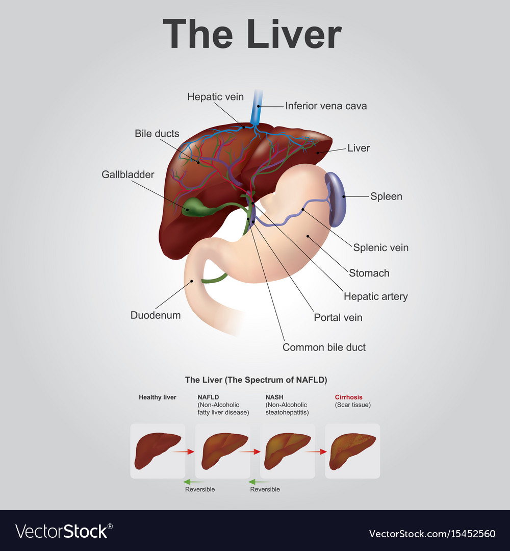 The Liver Anatomy Human Body Royalty Free Vector Image