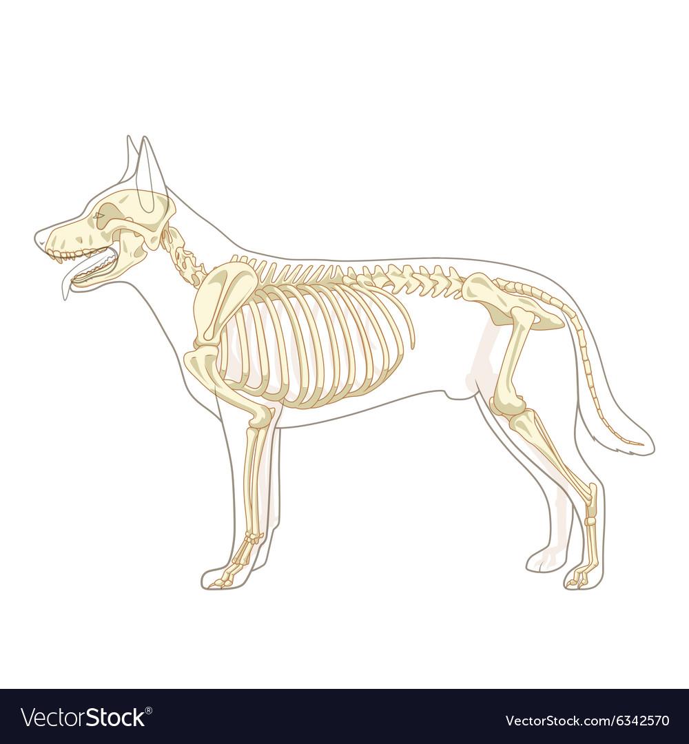 Dog skeleton veterinary Royalty Free Vector Image