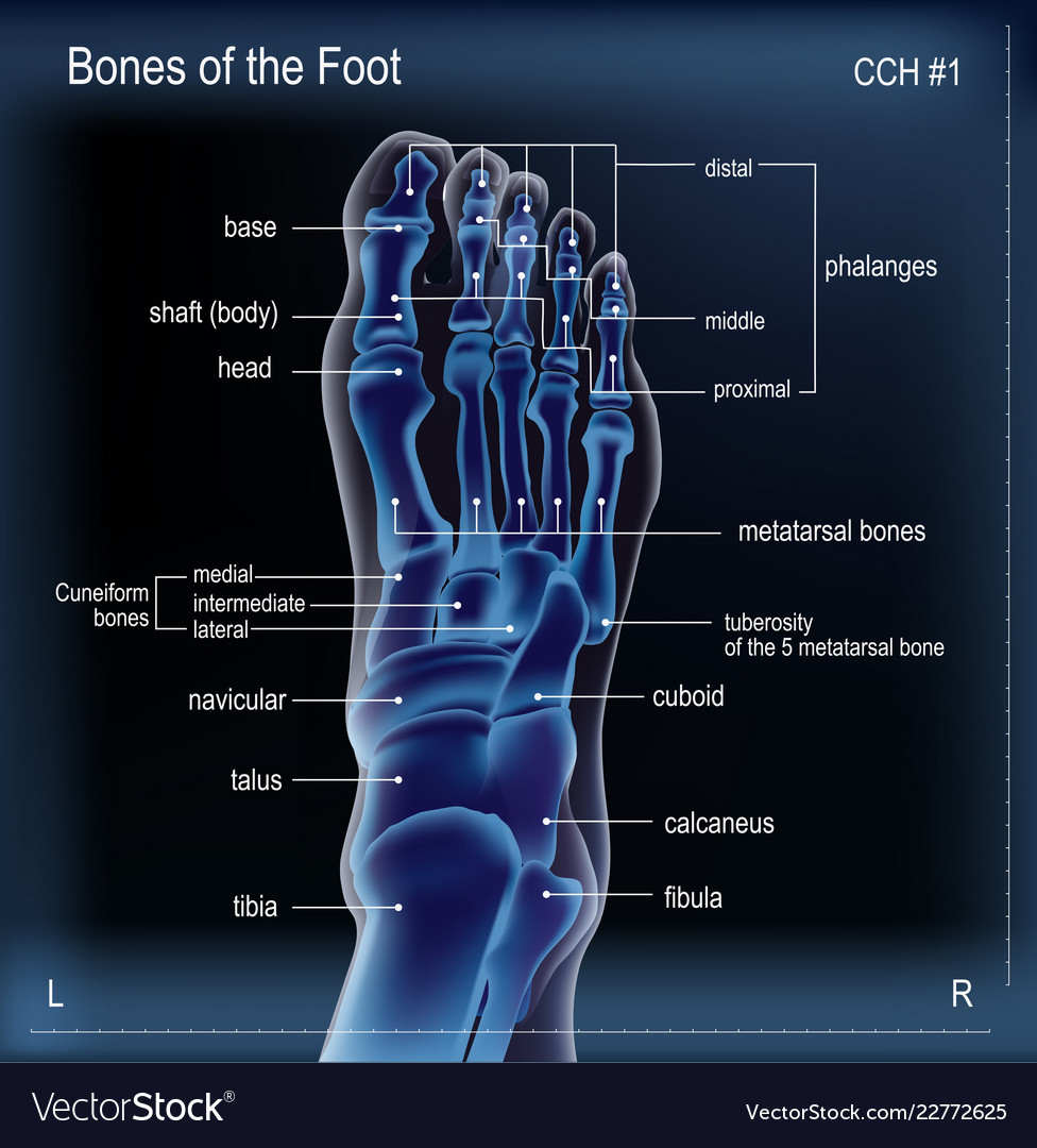 X Ray Of Bones The Of Foot Royalty Free Vector Image