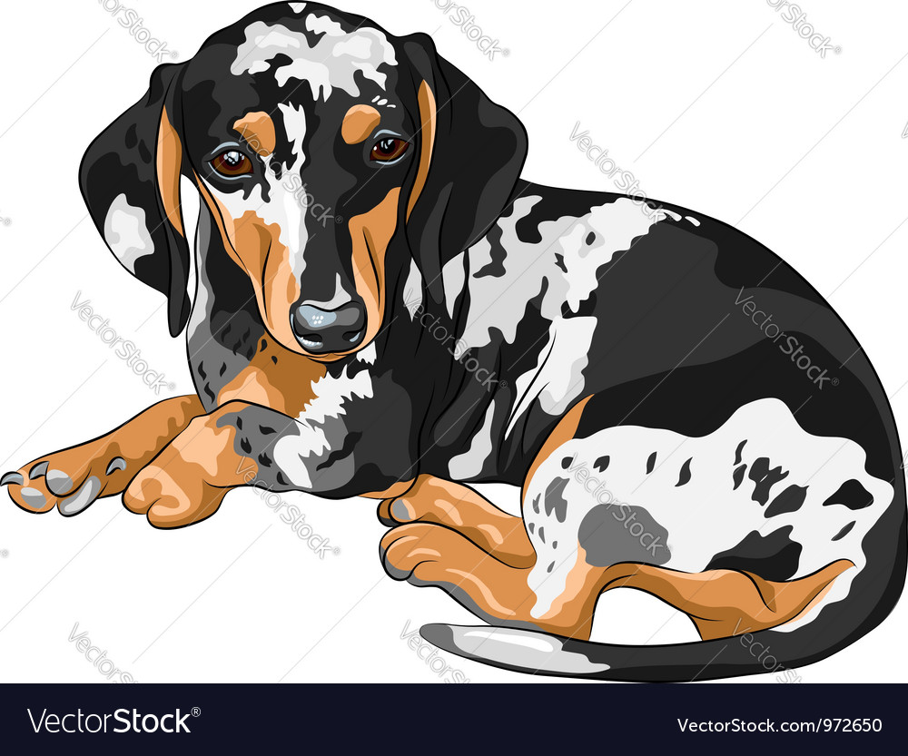 Miniature Dachshund vector image