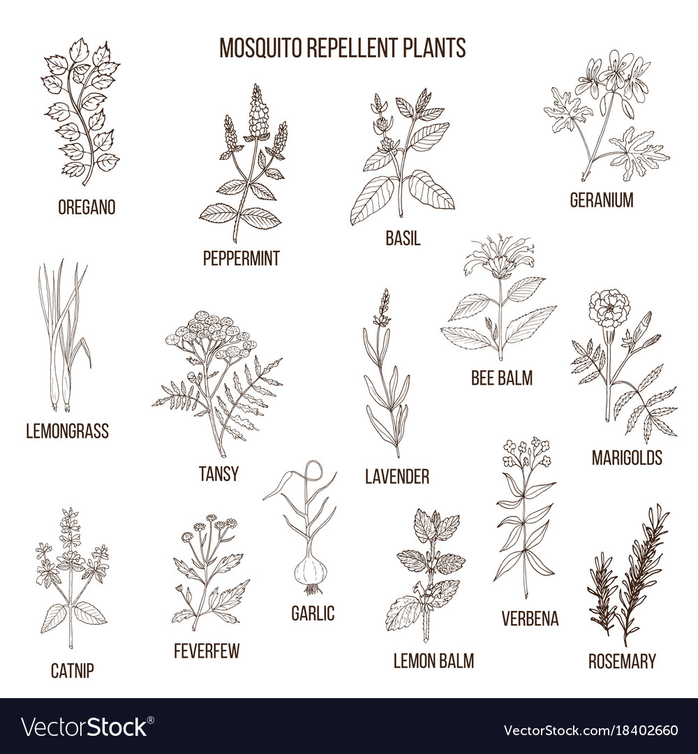 Best Mosquito Repellent Plants Royalty Free Vector Image