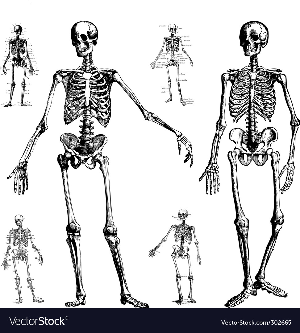 Skeleton drawings vector image