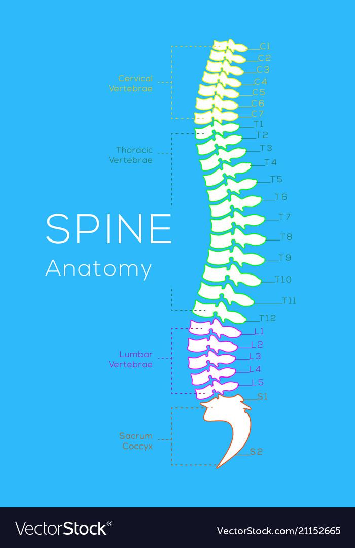 Vertebral column all vertebrae cervical thoracic