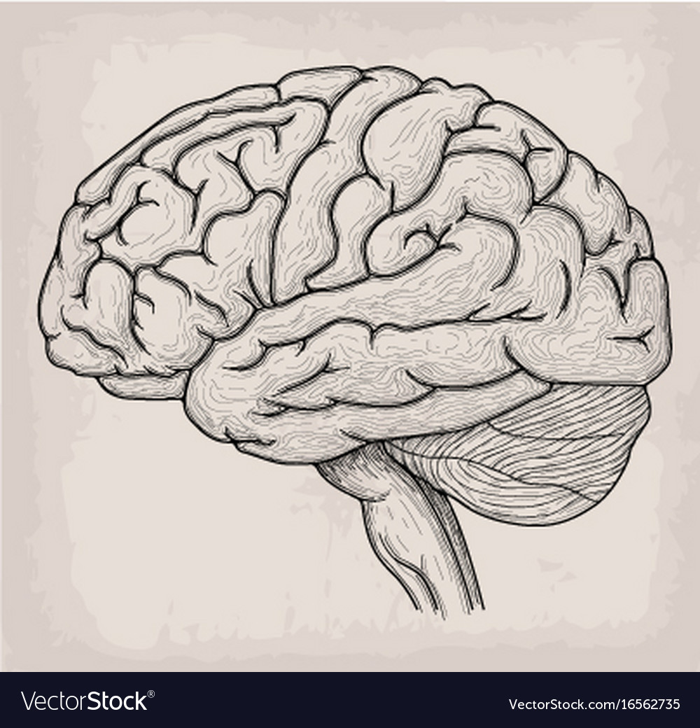 Anatomical brain heart hand drawn organ sketch Vector Image