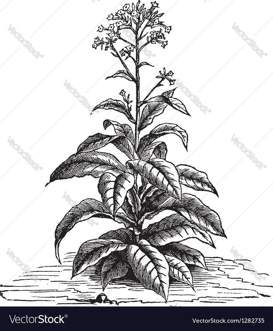 Tobacco plant vintage engraving