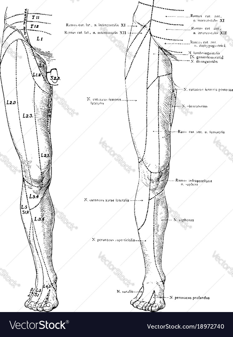 Cutaneous Nerves On The Front Of The Legs Vintage Vector Image