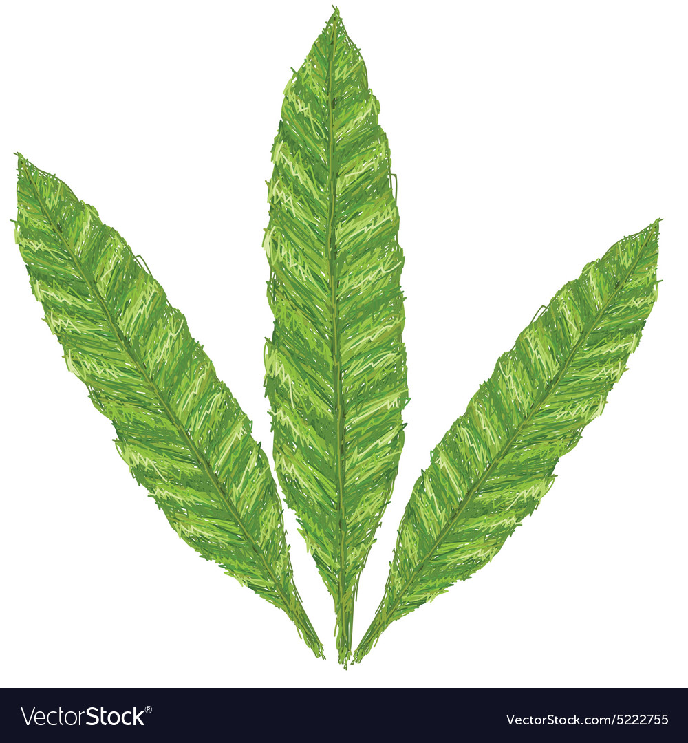 Unique Style Of Fern Leaves Scientific Name Vector Image