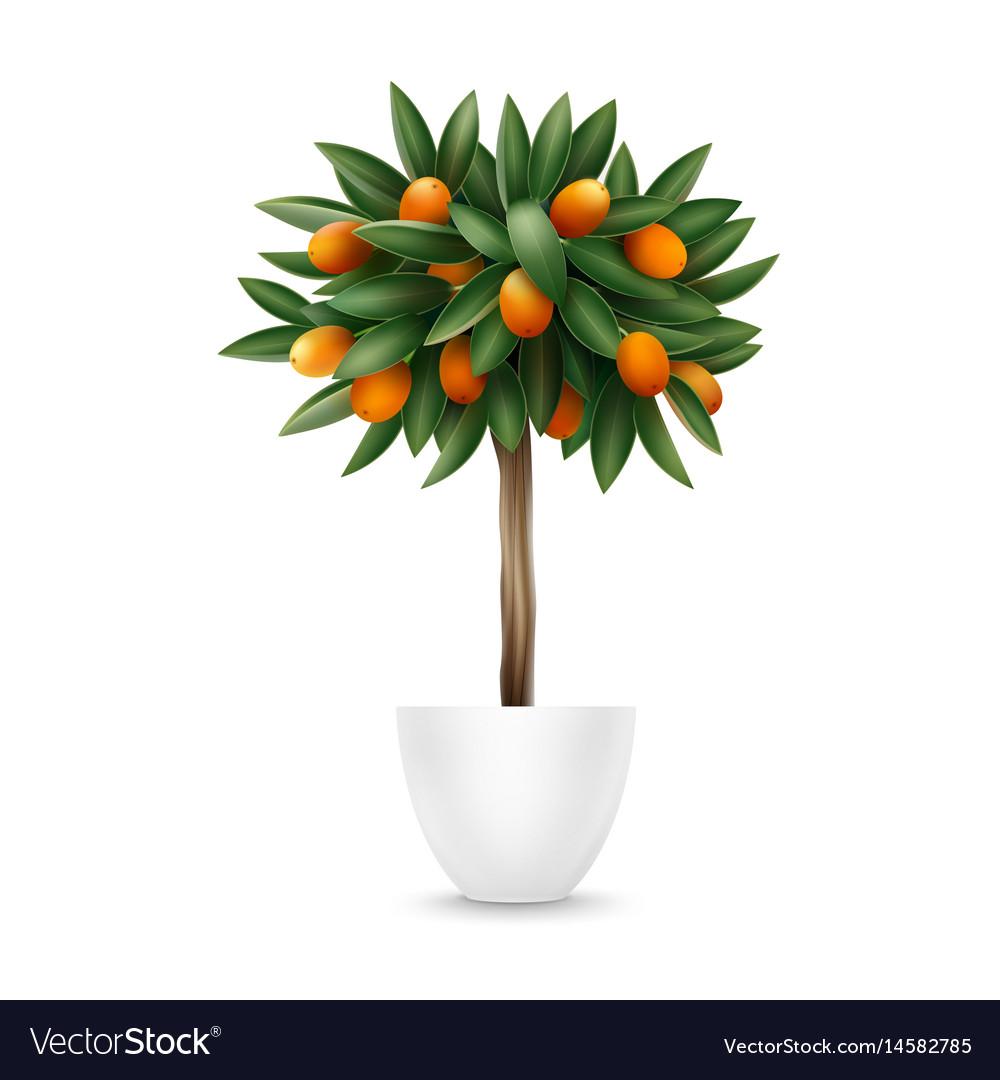 Kumquat Tree In Pot Royalty Free Vector Image Vectorstock