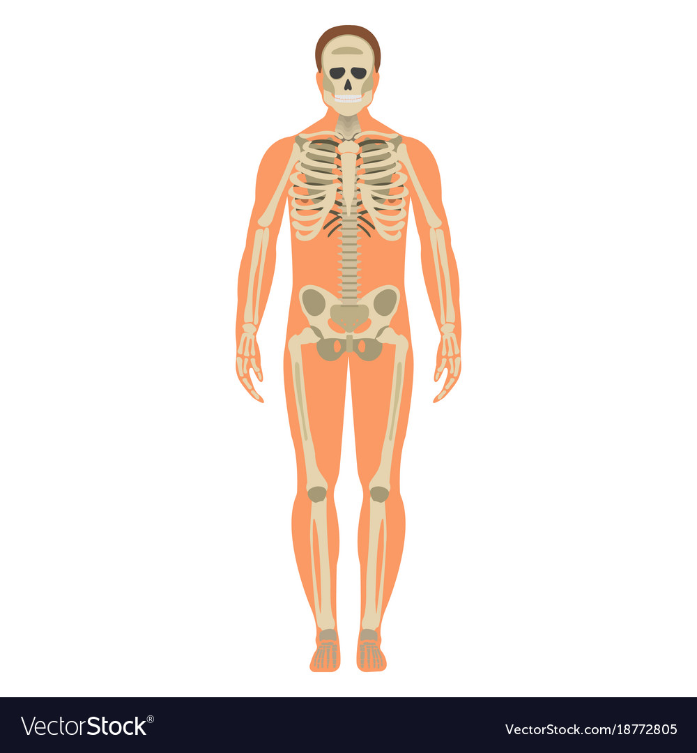 Skeleton Wuth Body Icon Human Skeleton Front Side Vector Image