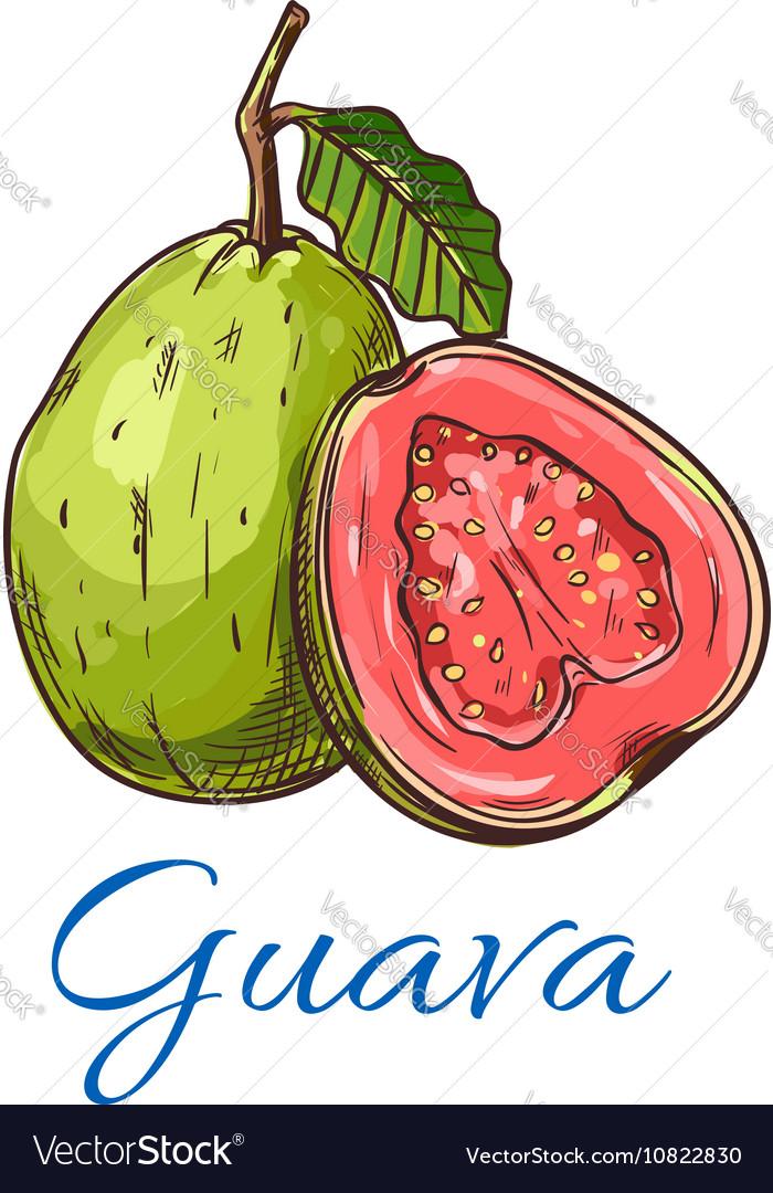 Guava fruit icon