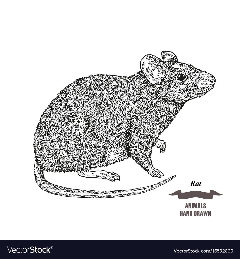 Hand drawn mouse or rat animal black ink sketch