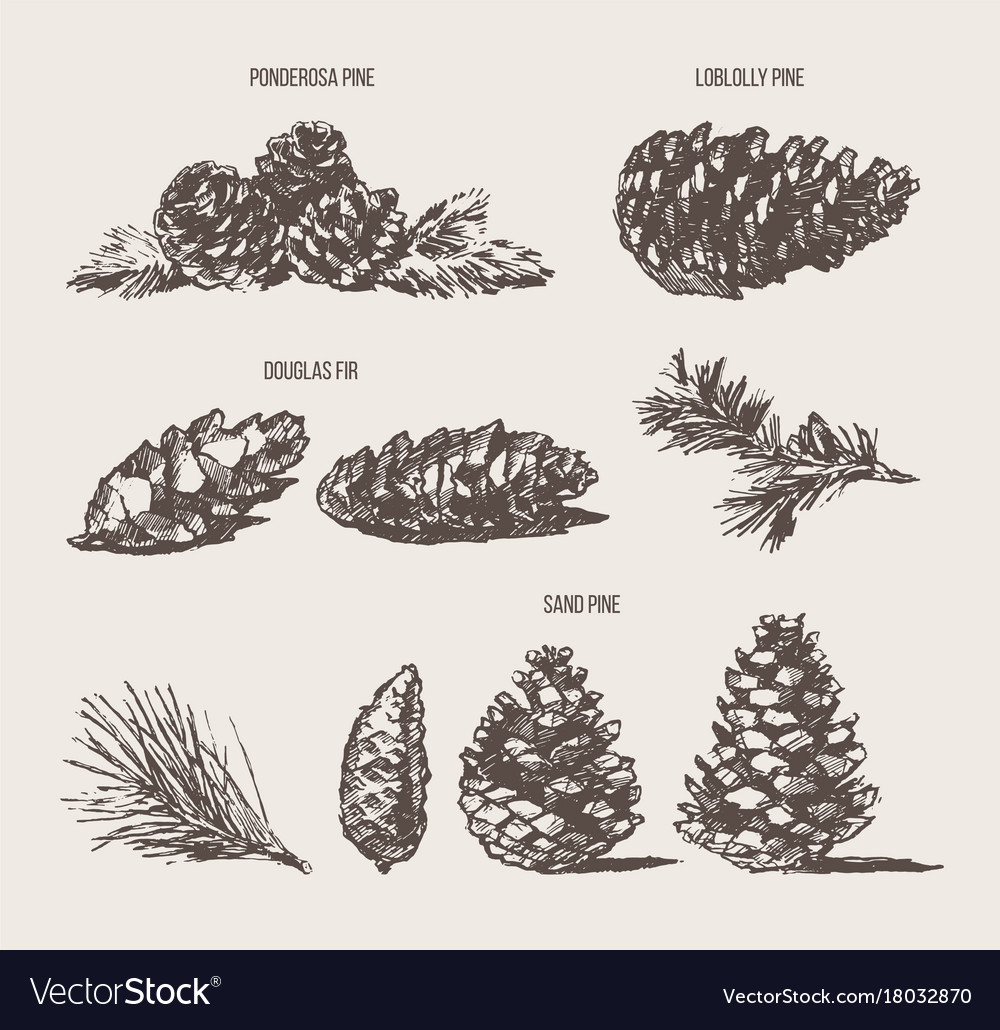 Set pine cones design elements drawn sketch vector image