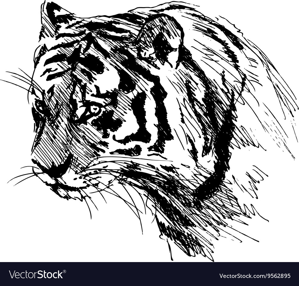 Hand sketch of the head of the tiger