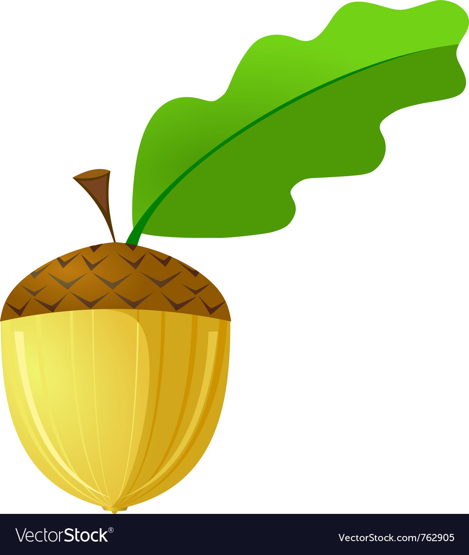 Acorn is not a white background vector image