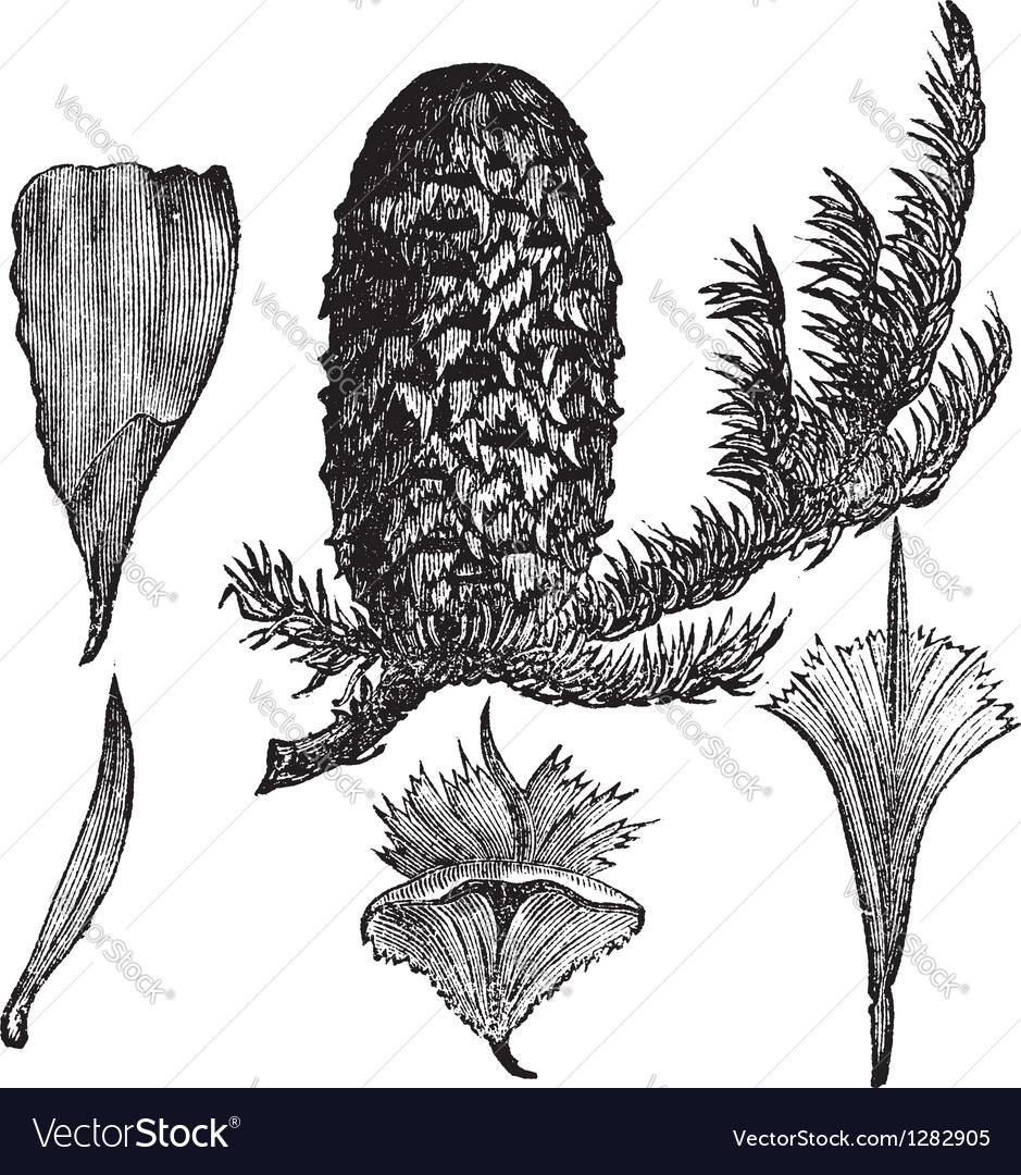 Noble Fir vintage engraving vector image