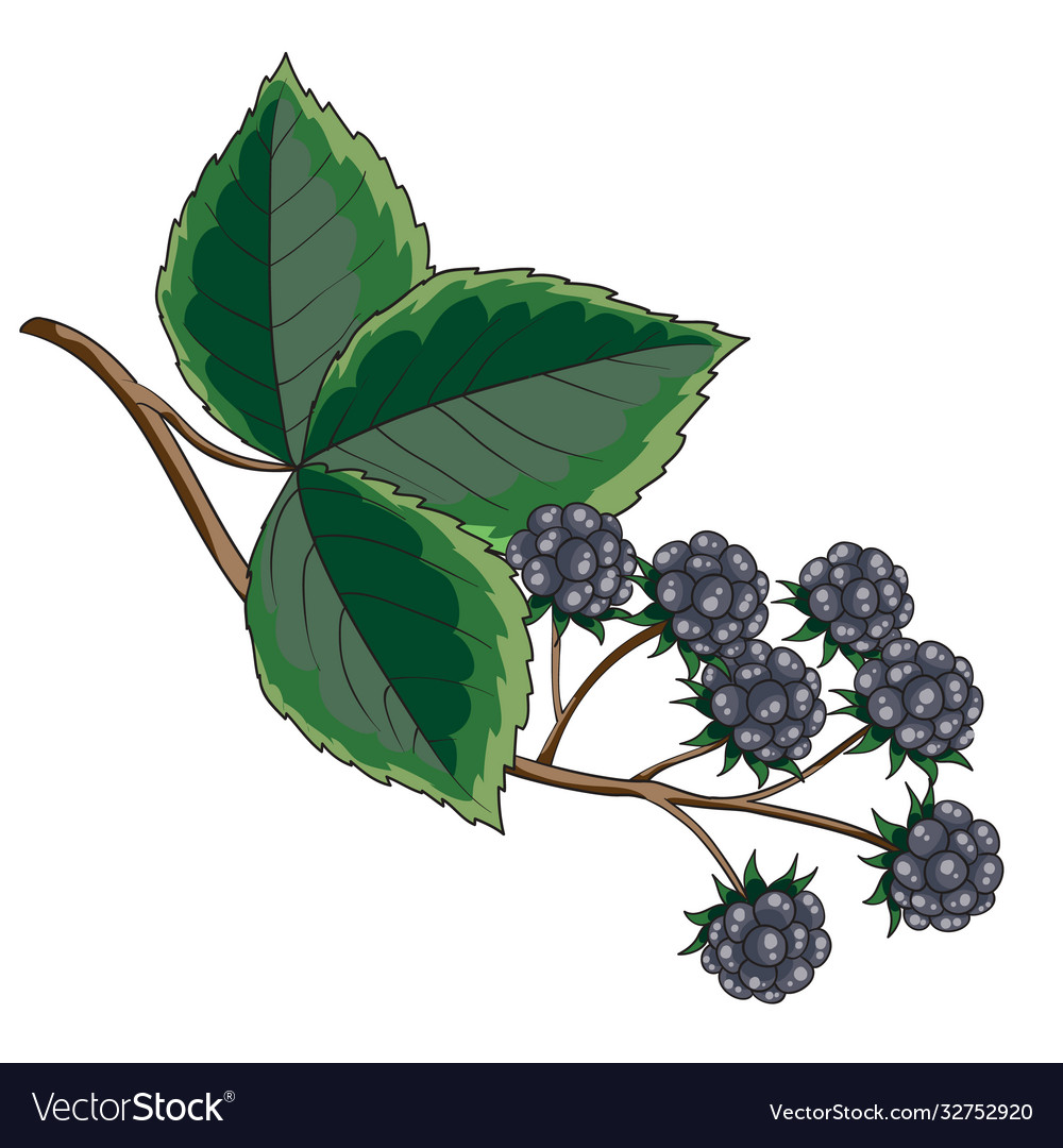 Blackberry bush with green leaves isolated object