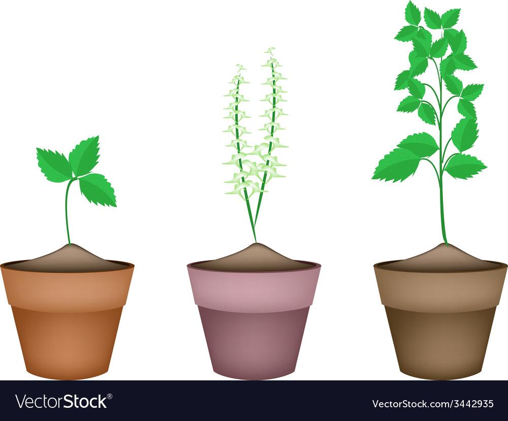 204 & Holy Basil Plants in Ceramic Flower Pots