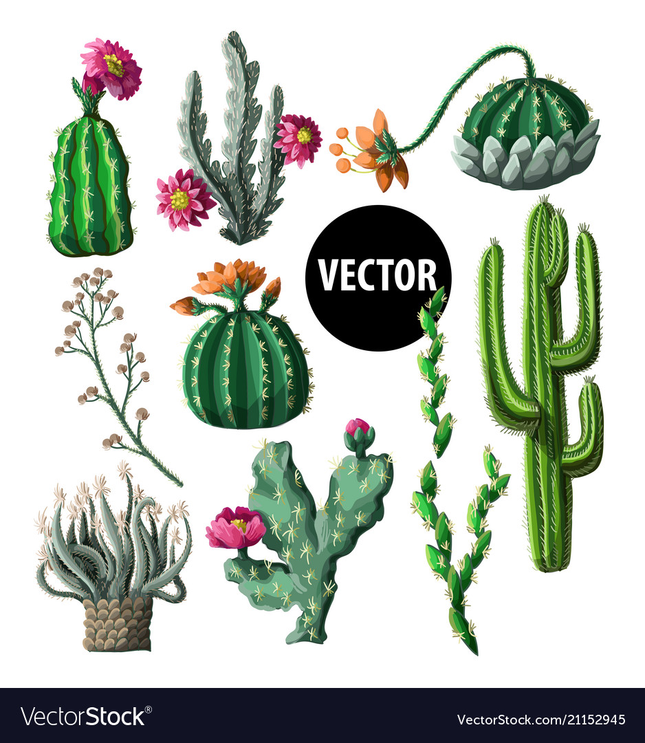 Cacti With Flowers Isolated On A White Background Vector Image
