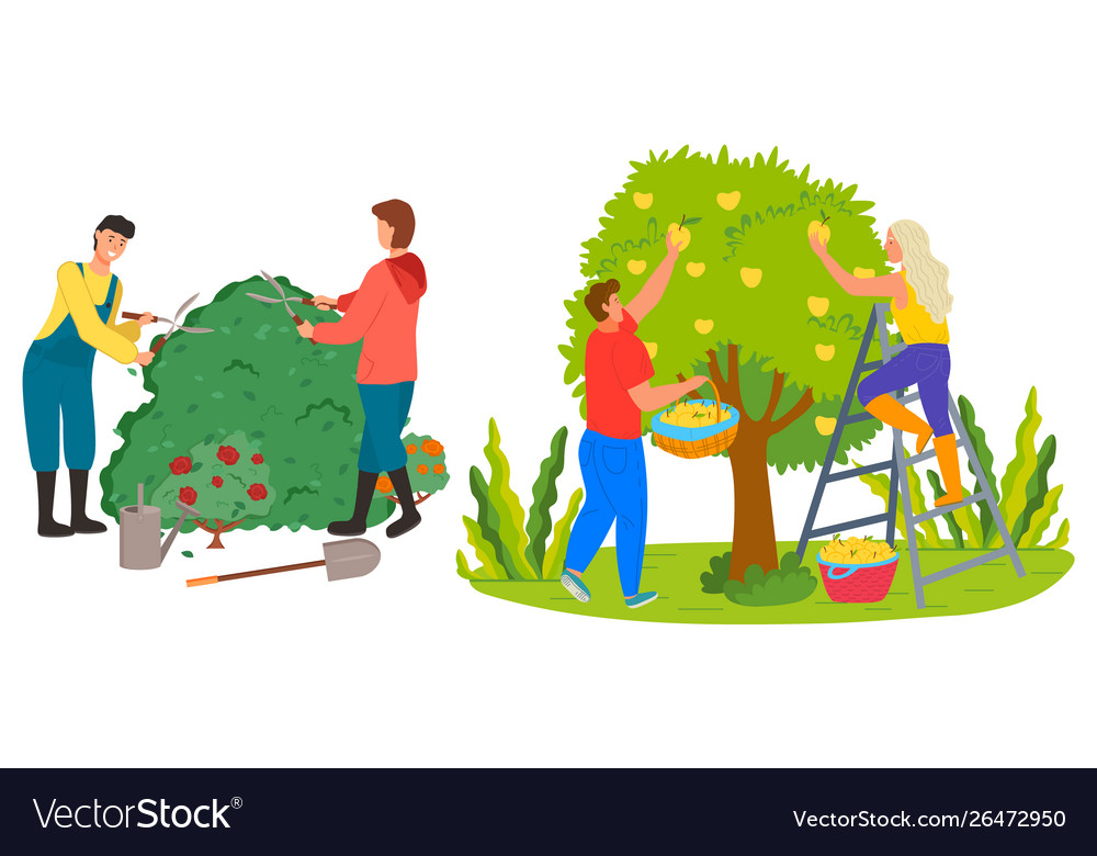 Farmers Harvesting In Garden Roses Trimming Vector Image