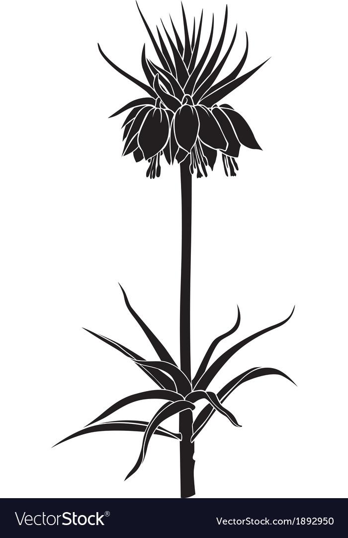Imperial fritillaria vector image