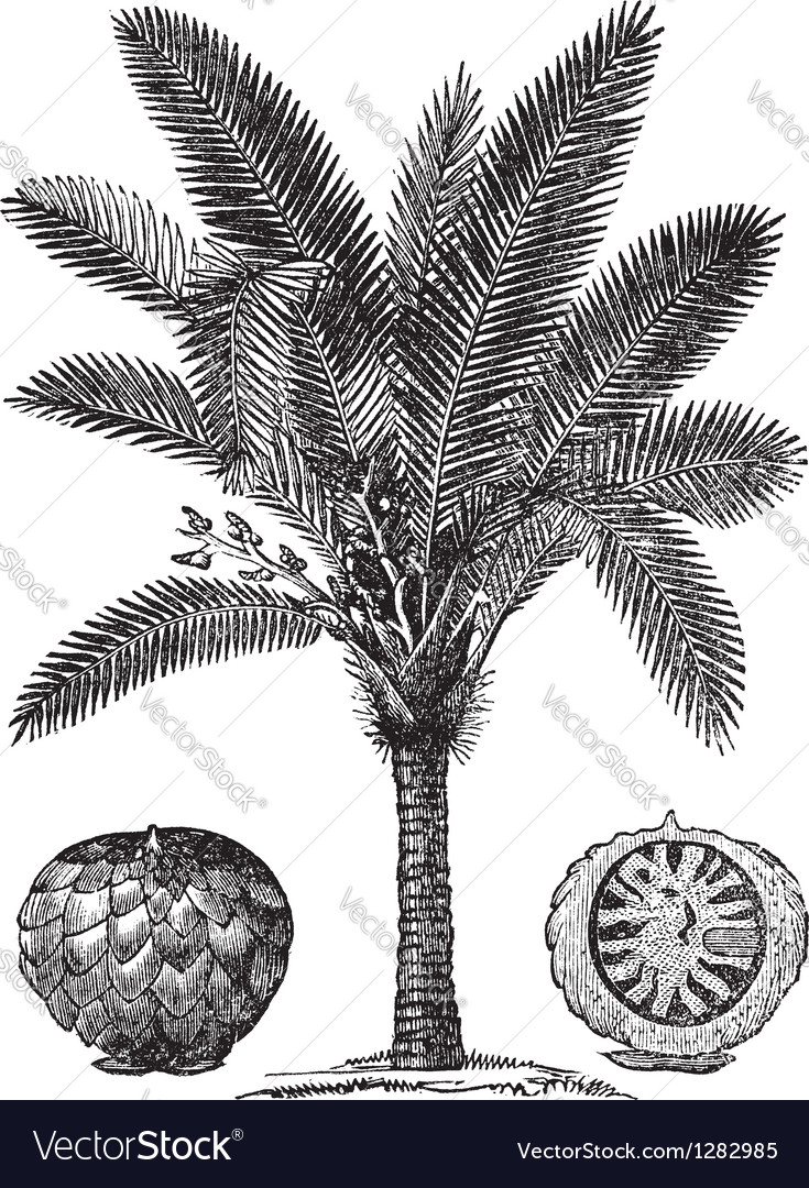 Sago Palm sketch