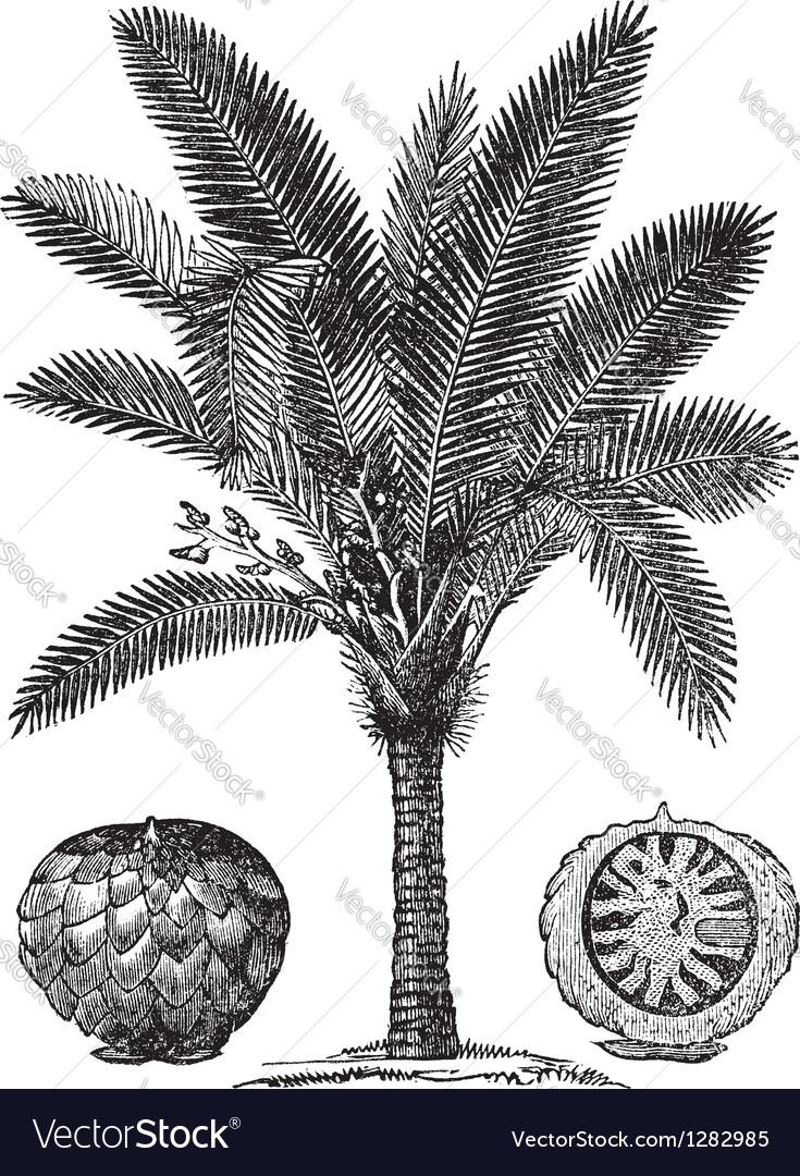 Sago Palm sketch vector image