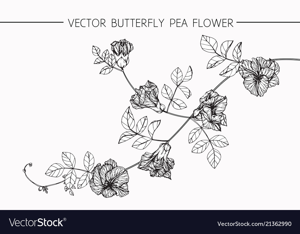 Butterfly pea flower drawing vector