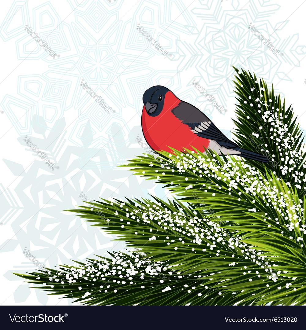 Bullfinch sitting on branch pine