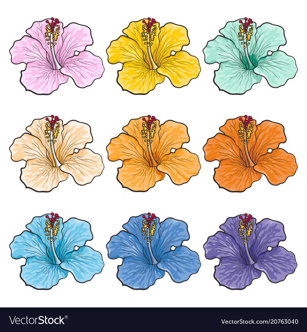 Multicolored tropical flowers hibiscuses isolated